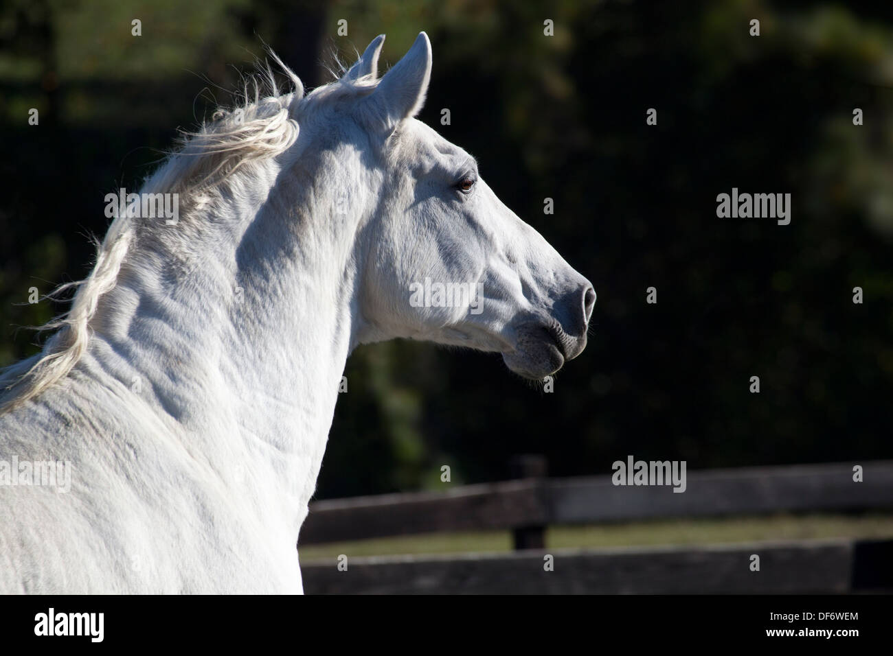 Andalusian horse Stock Photo