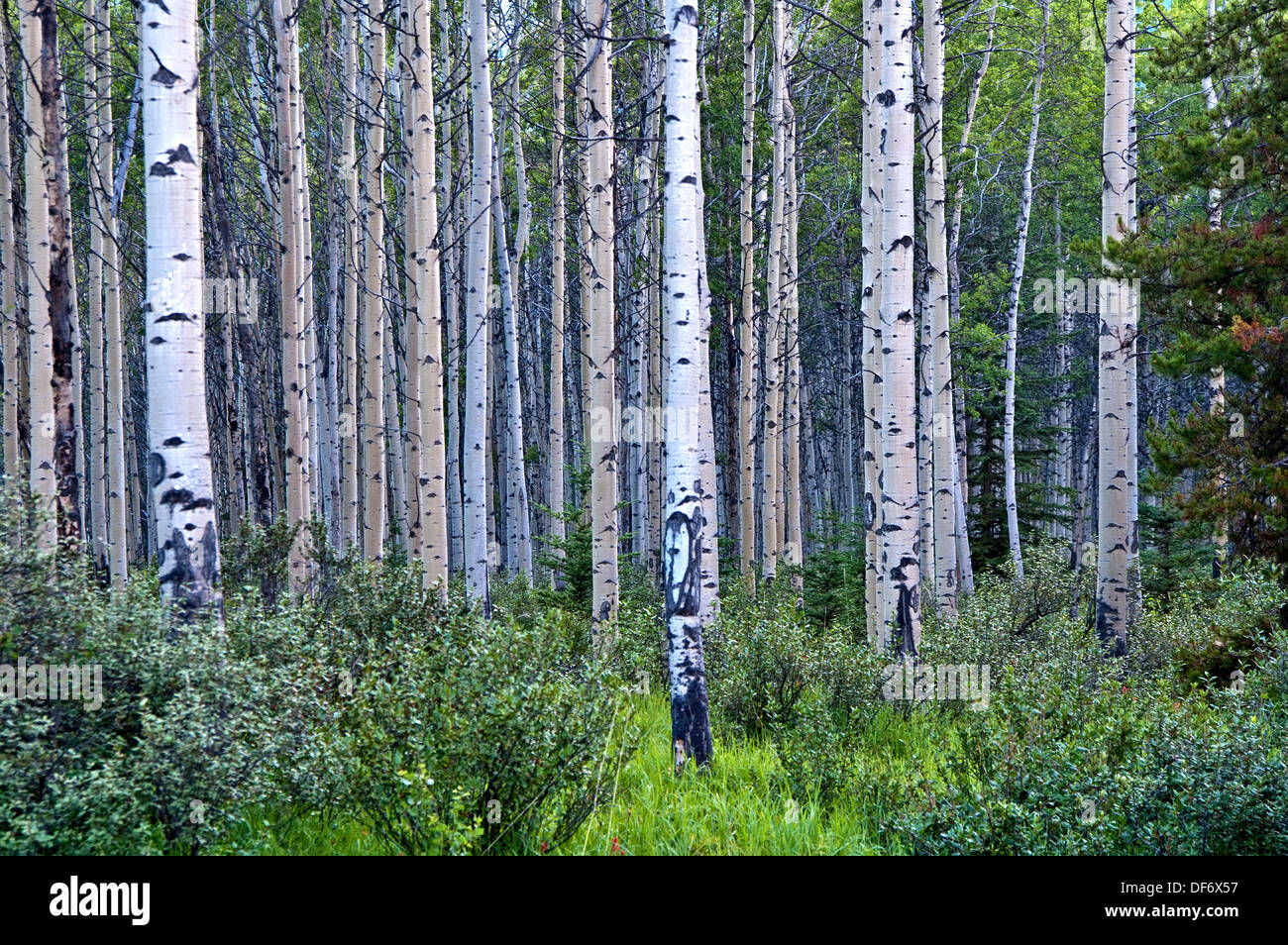 Birch wood forest, - Stock Image