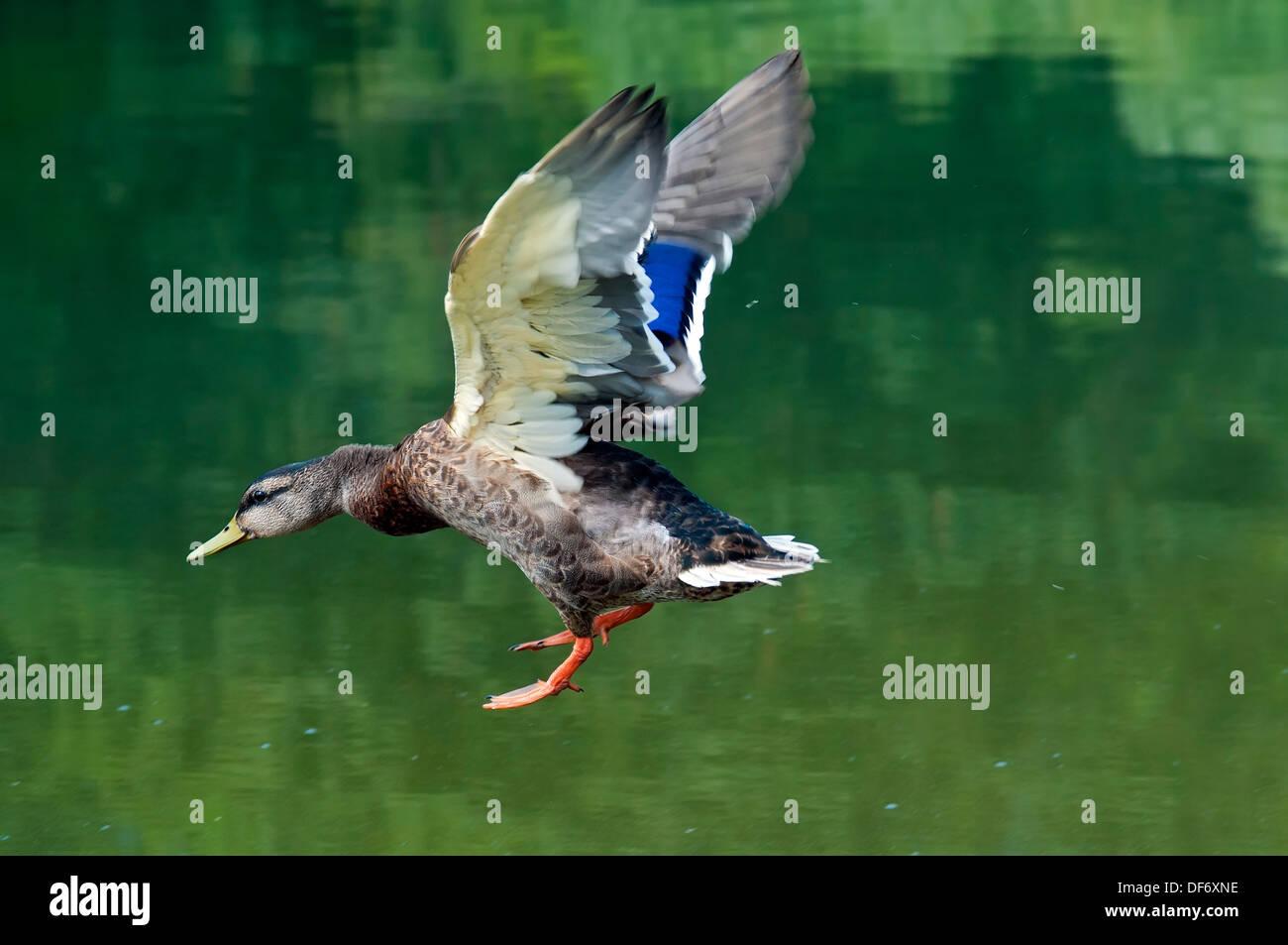 Mallard, Male flying - Stock Image
