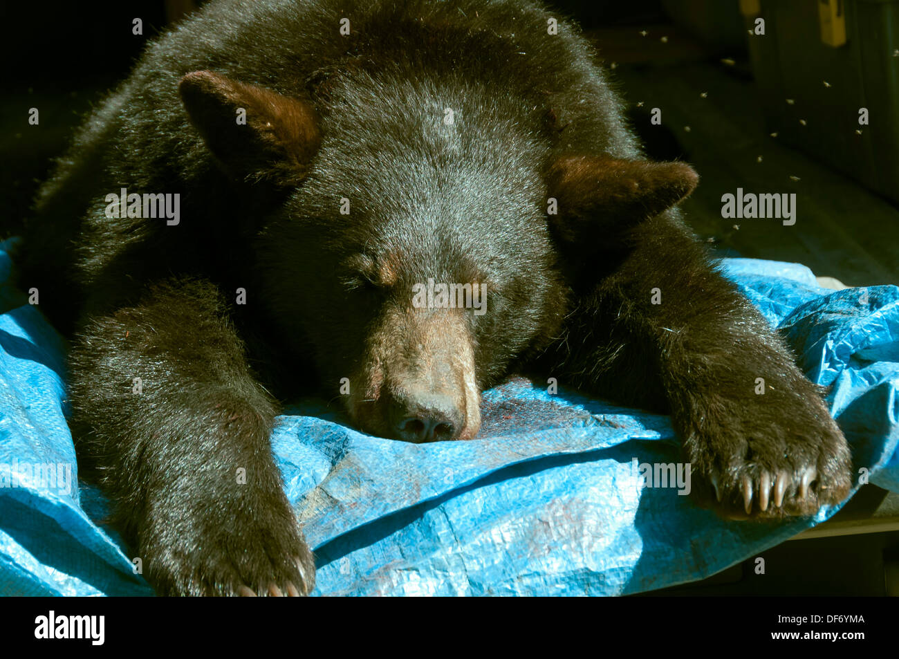 closeup of dead black bear killed by hunter - Stock Image