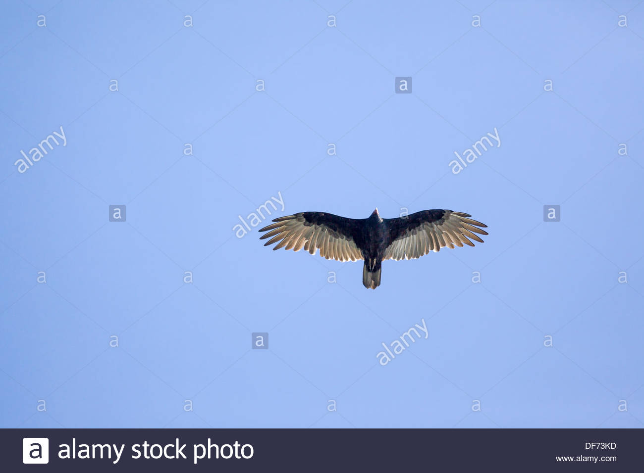 Turkey Vulture (Cathartes aura) soaring over Rouge National Urban Park an urban wilderness in Toronto Ontario Canada - Stock Image