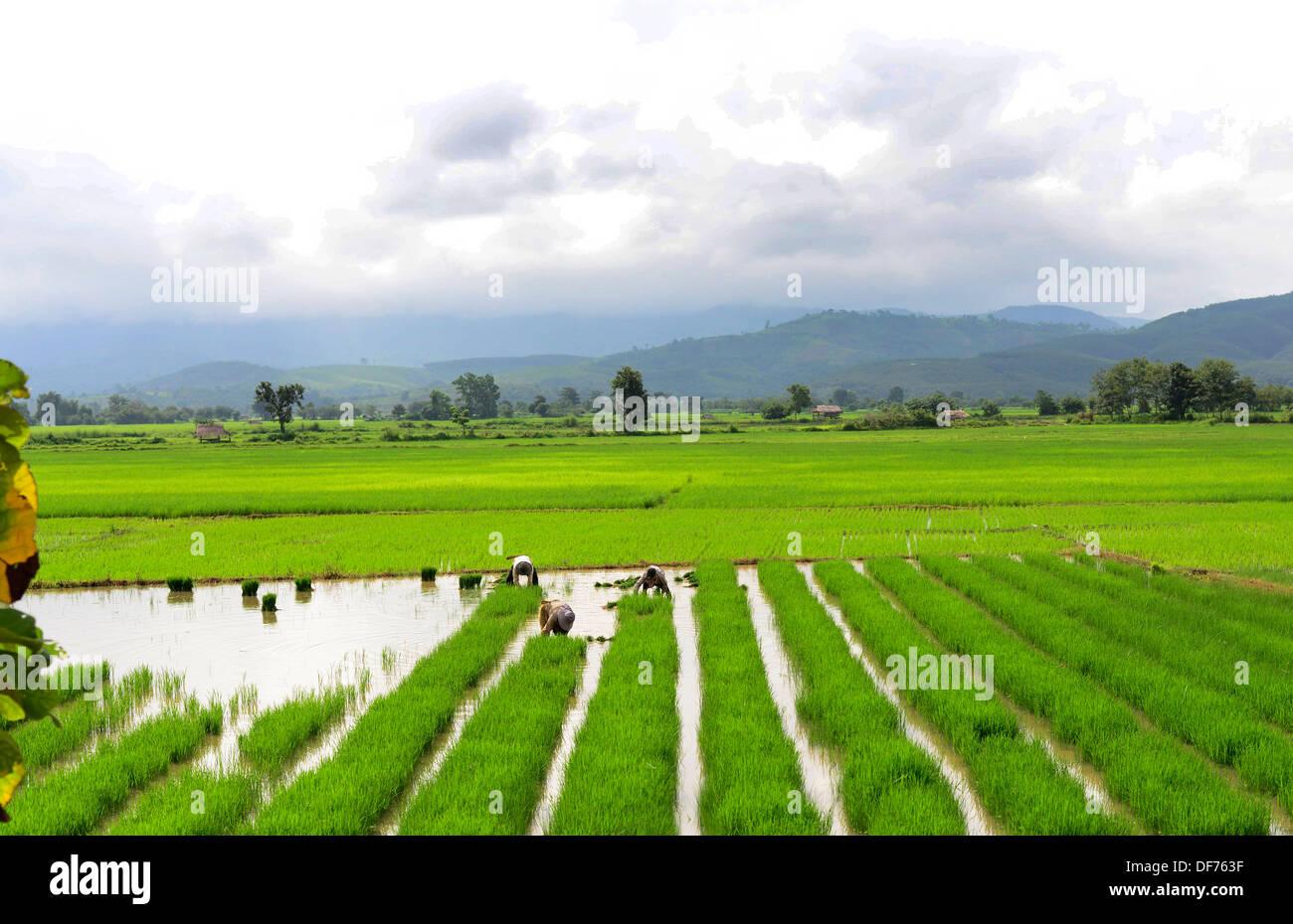 Farmers working in the paddy fields in eastern Myanmar. - Stock Image