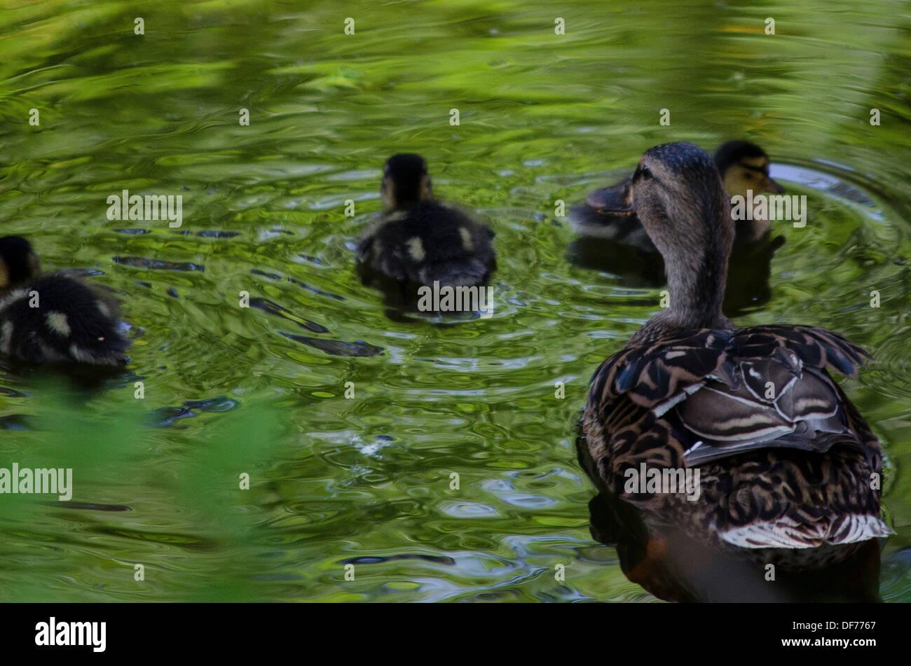 Spain, Barcelona, Zoo, Familiy duck's. - Stock Image