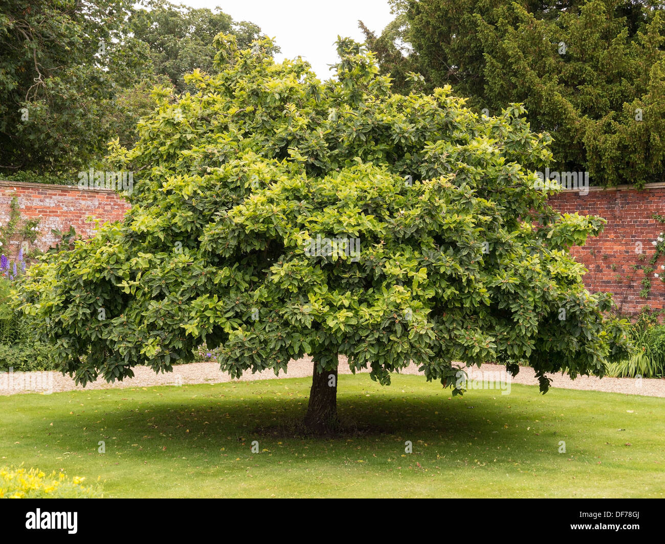 mespilus germanica medlar tree growing in grass lawn in. Black Bedroom Furniture Sets. Home Design Ideas