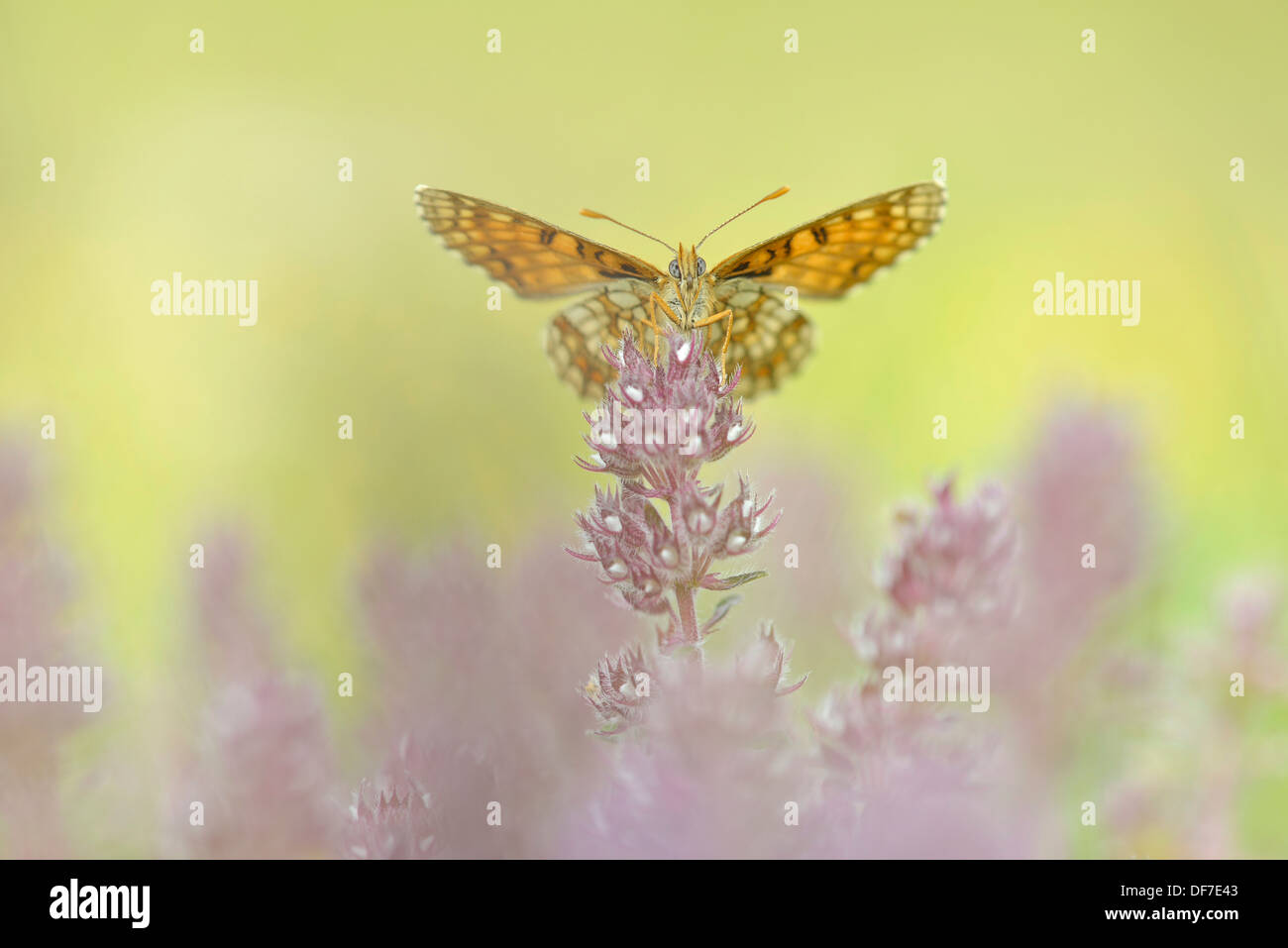 Heath Fritillary (Melitaea athalia), Ústí nad Labem Region, Czech Republic - Stock Image