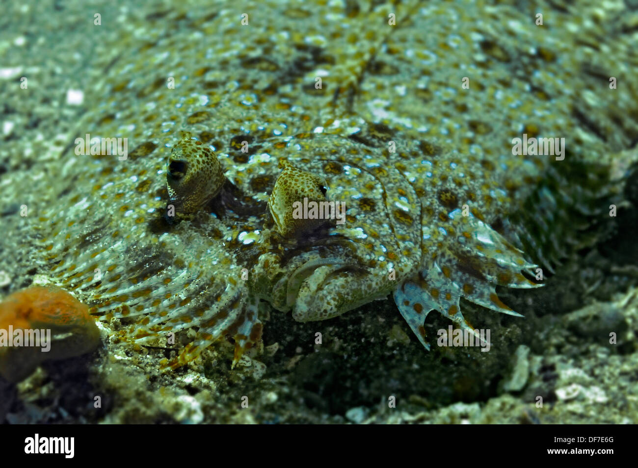 Wide-eyed Flounder (Bothus podas), Raja Ampat, West Papua, Indonesia - Stock Image
