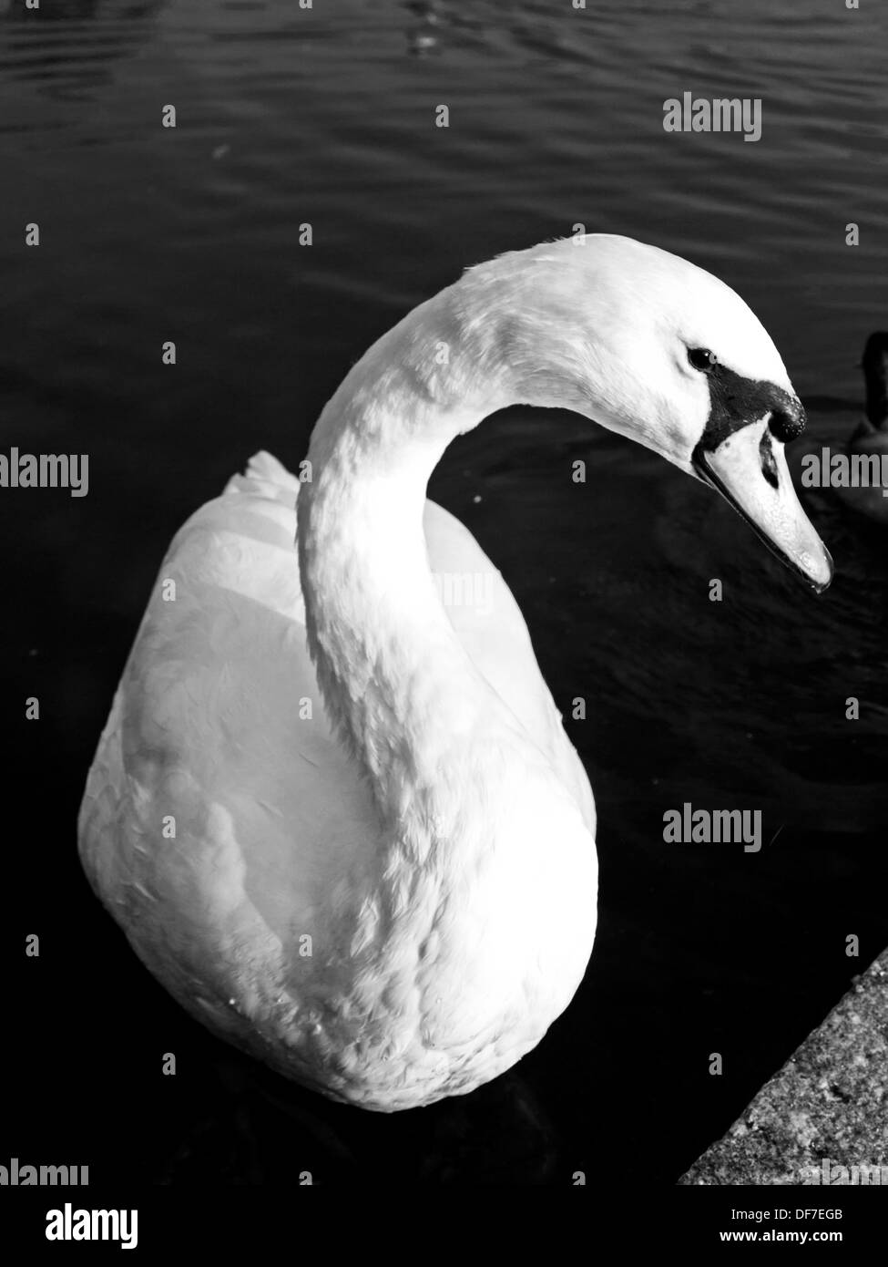 White Swan on The Long Water, part of the Serpentine, Kensington Gardens, London, England, United Kingdom - Stock Image