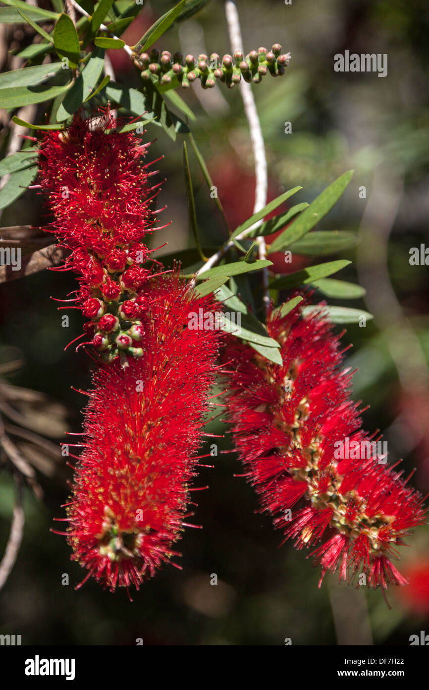 Closeup of a red Bottlebrush bloom along the shore of Lake Alice on the University of Florida campus in Gainesville, Florida. - Stock Image