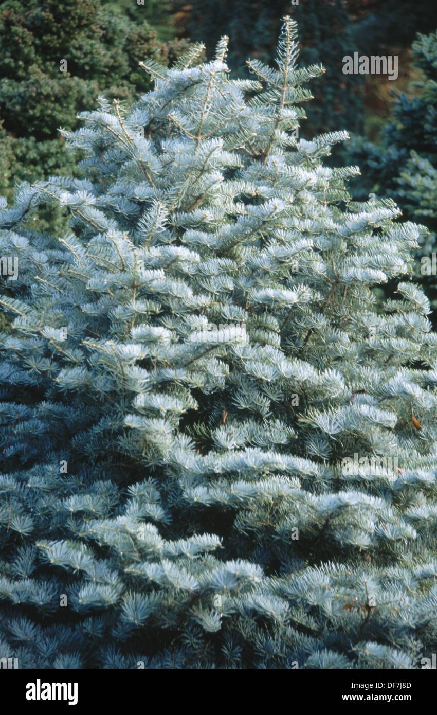 Silver Fir Abies Concolor Compacta Stock Photo 61018957 Alamy