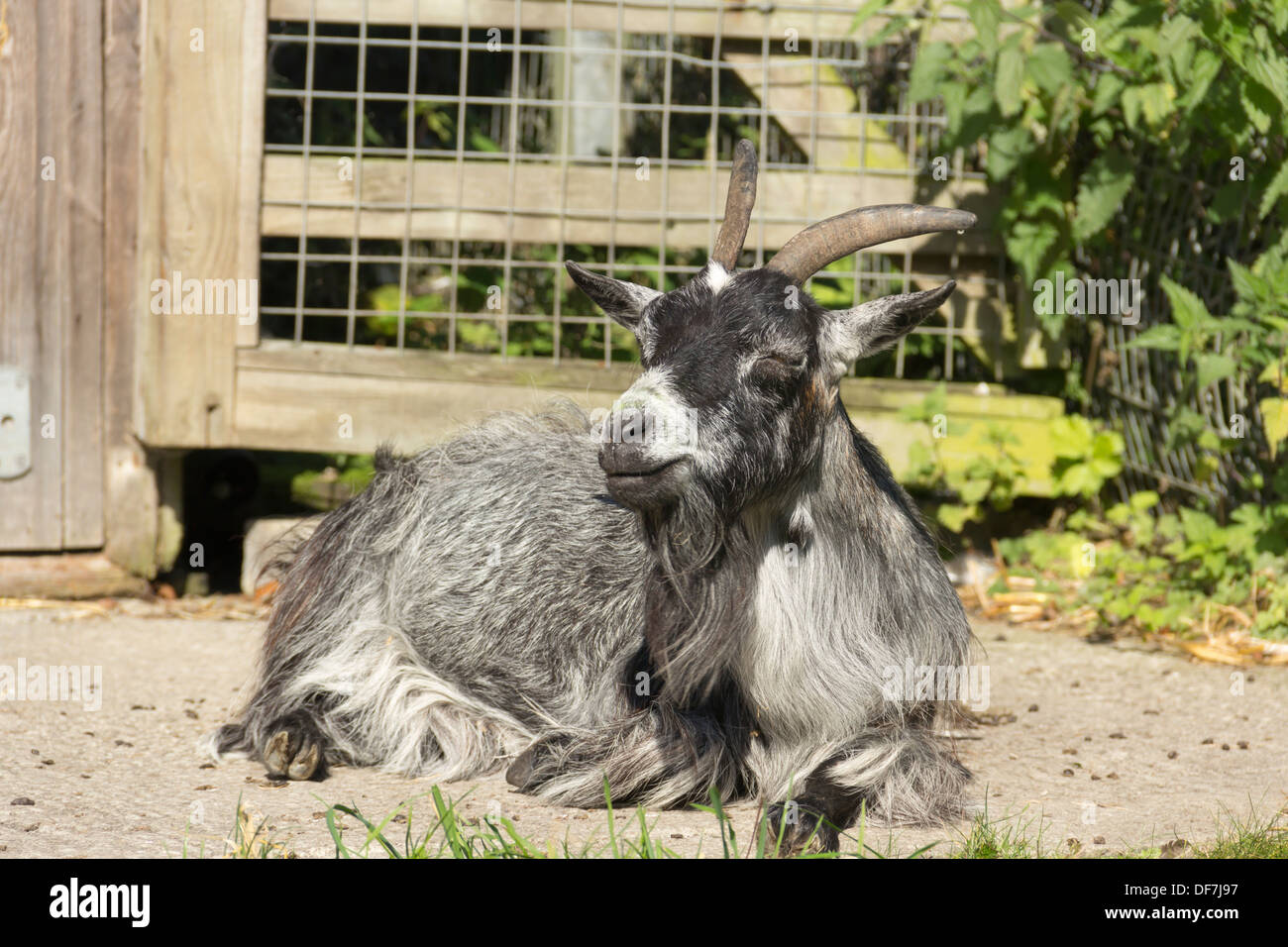 A pygmy (pigmy) goat at the Animal World attraction at Moss Bank Park, Bolton, on its final weekend of operation before closing. - Stock Image