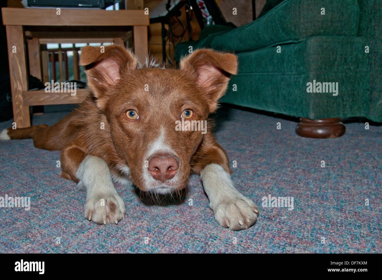 Border collie/Australian shepherd cross Stock Photo