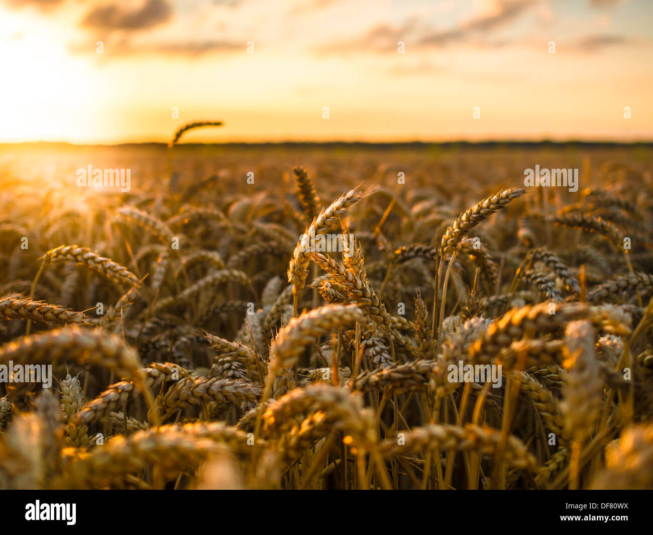 Wheat field at golden sunset - Stock Image