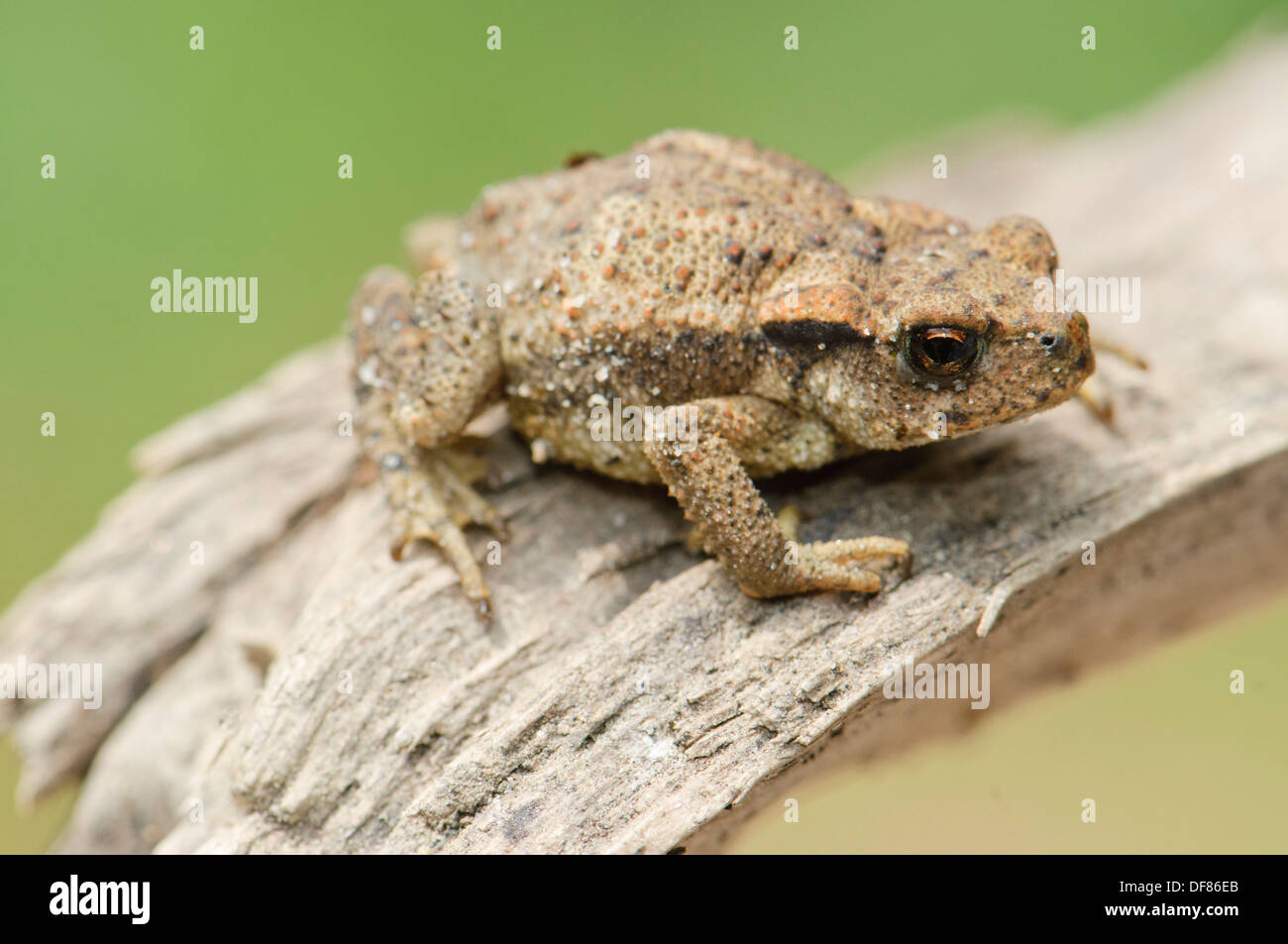 Young common Toad Bufo bufo, Spain Stock Photo