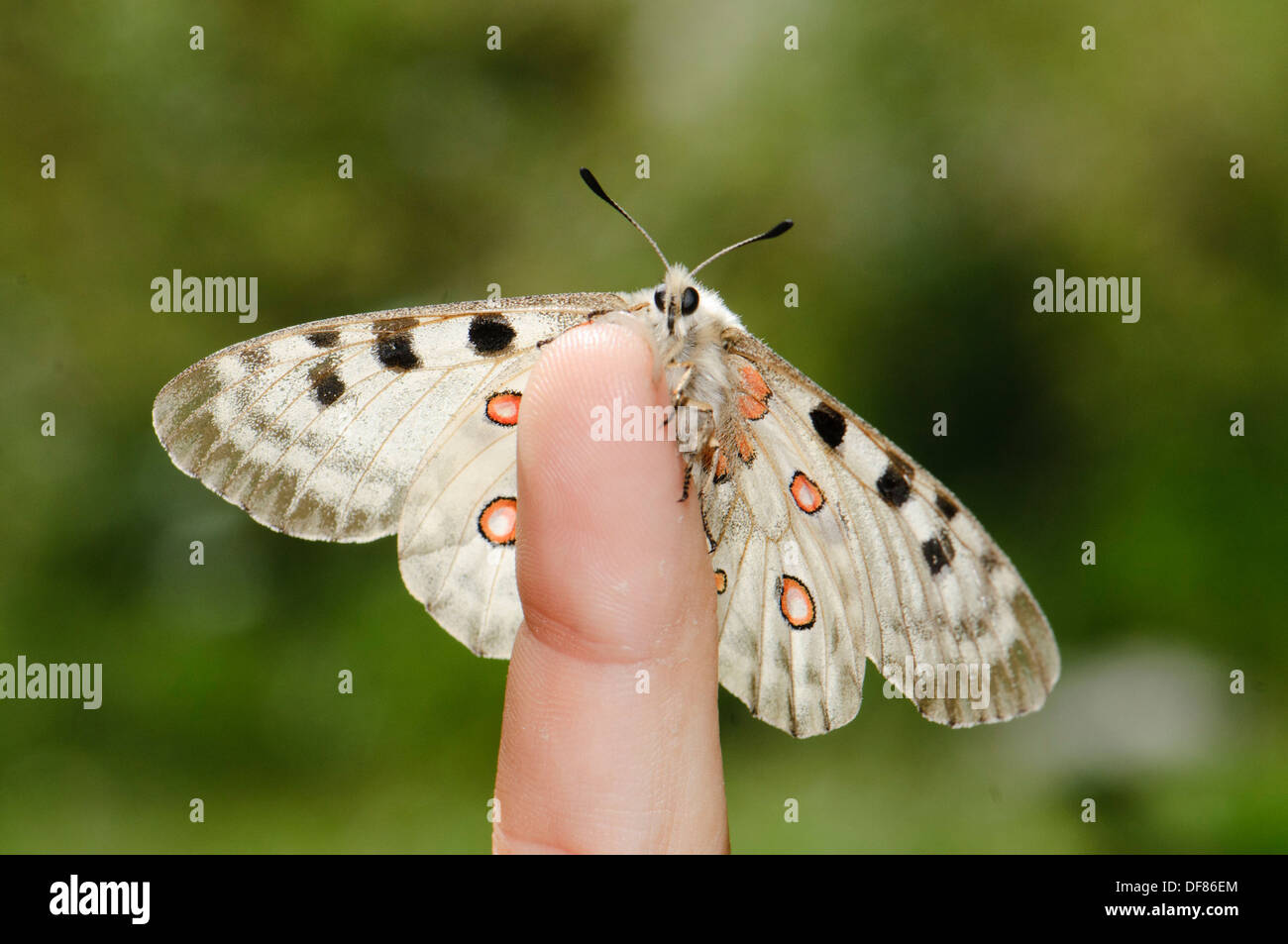 Parnassius apollo is in Southern Europe confined to high mountain areas mostly in the Pyrenees where it was confined at the end - Stock Image