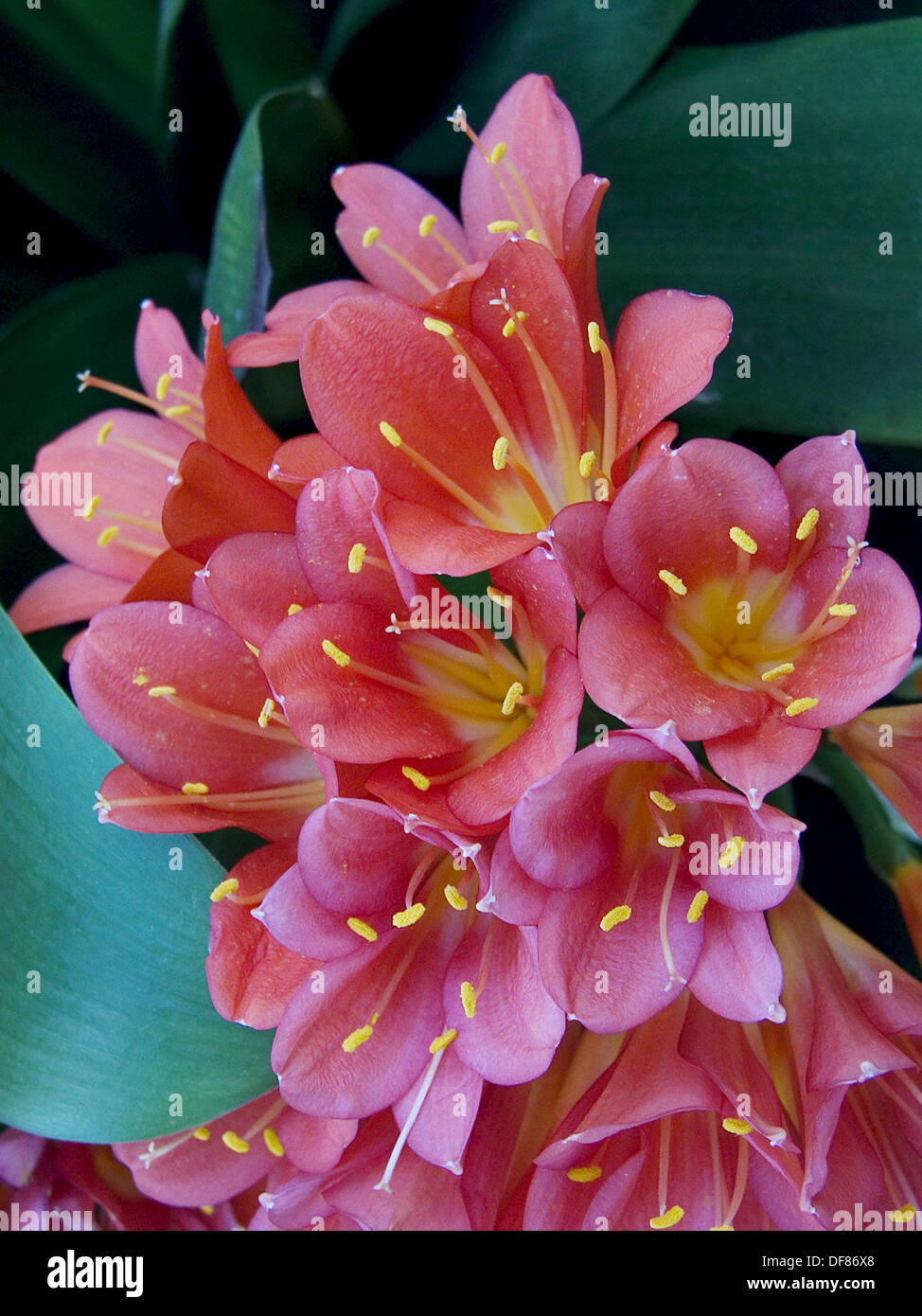 Clivia, close up of coral colored flowers Stock Photo: 61032000 - Alamy