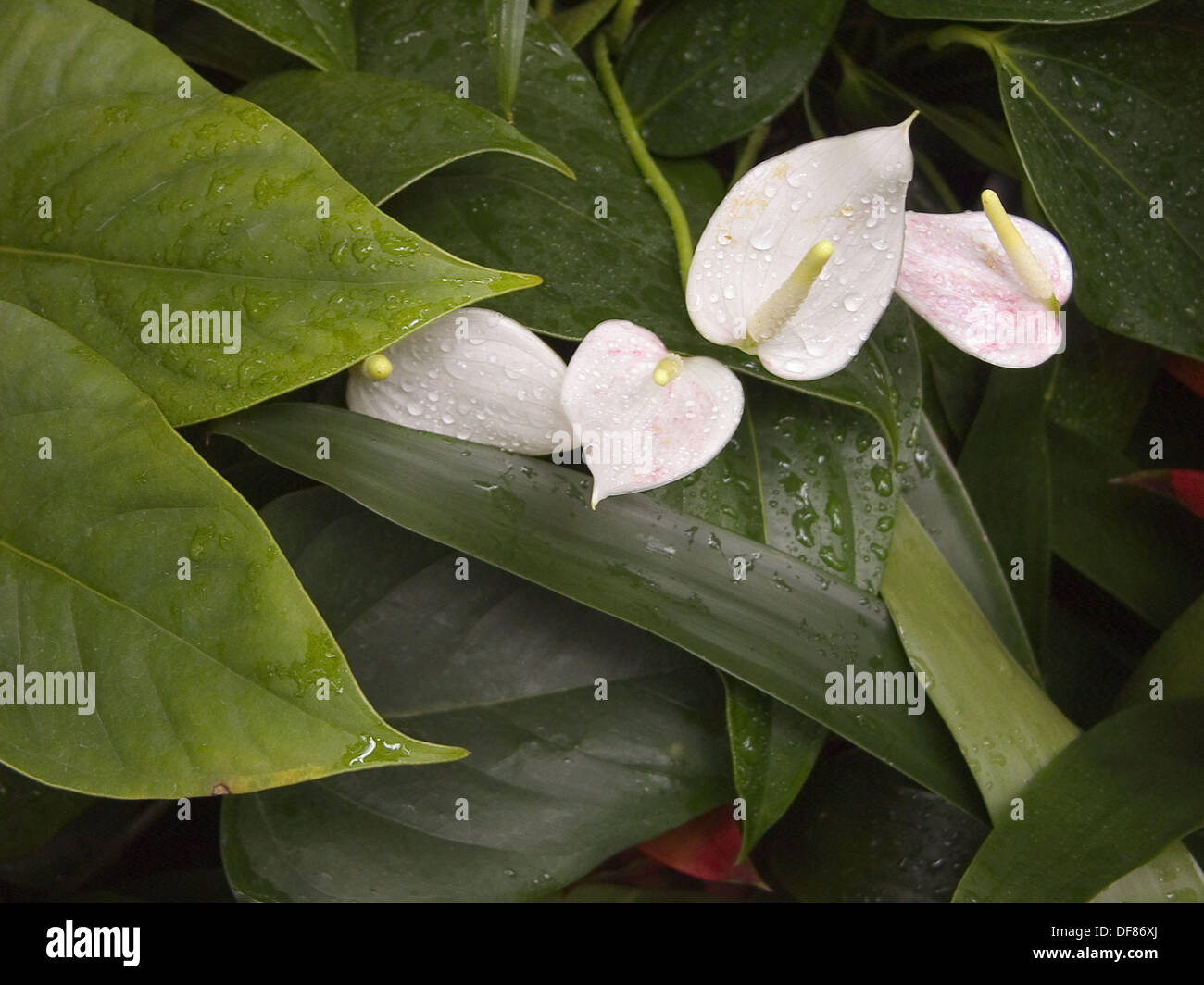 White Anthurium Flowers With Green Leaves With Water Drops Stock
