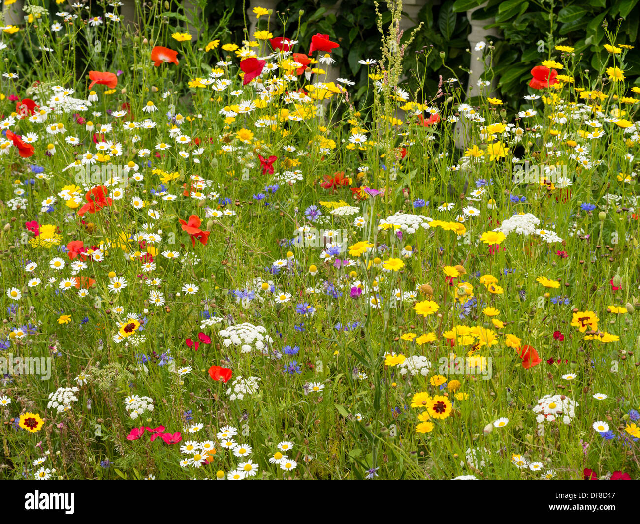 Wild flowers in August in Yorkshire UK - Stock Image