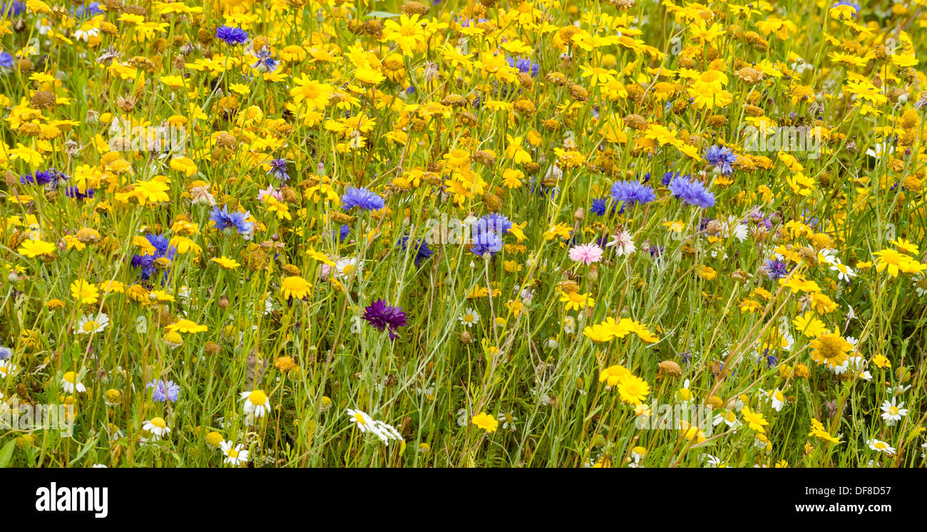 Wild flower meadow in August in Yorkshire UK - Stock Image
