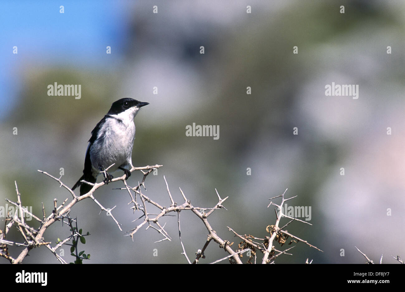 Fiscal Flycatcher (Melaenornis silens). South Africa - Stock Image