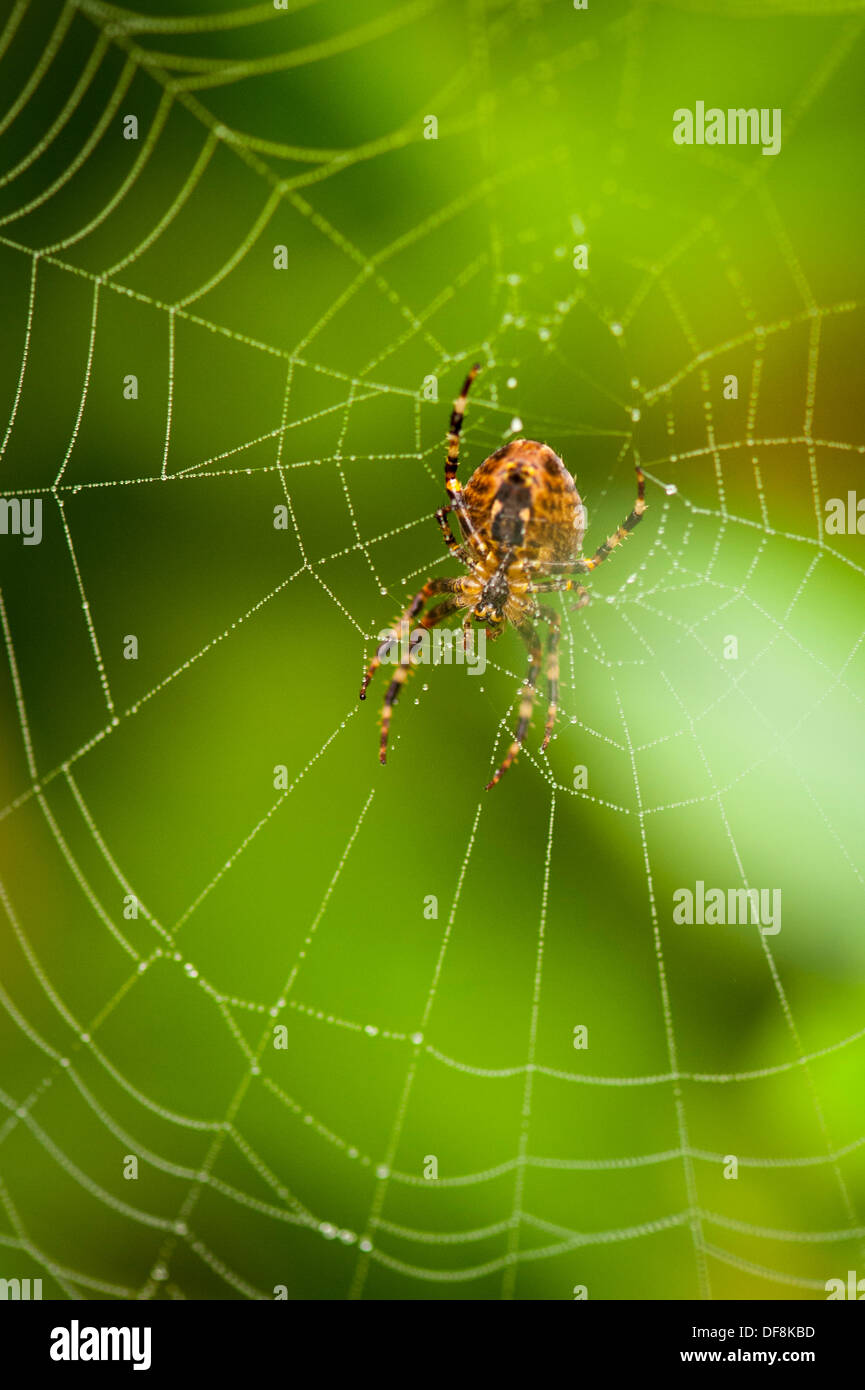 North London suburb European Garden Spider Cross Orb Araneus Diadematus spiders web webs dew rain water drop drops leaf leaves close up macro Spinne - Stock Image