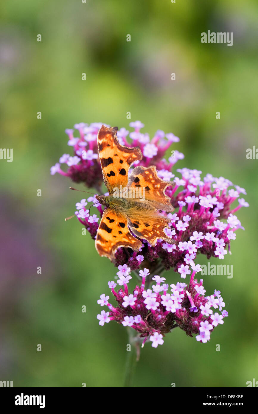 Polygonia c-album. Comma butterfly on Verbena bonariensis. - Stock Image