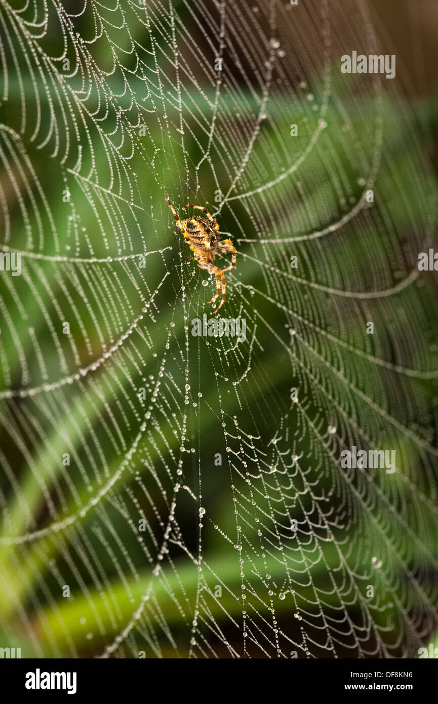 North London suburb common European Garden Spider Cross Orb Araneus Diadematus spiders web webs dew rain water drop drops leaf leaves close up macro - Stock Image