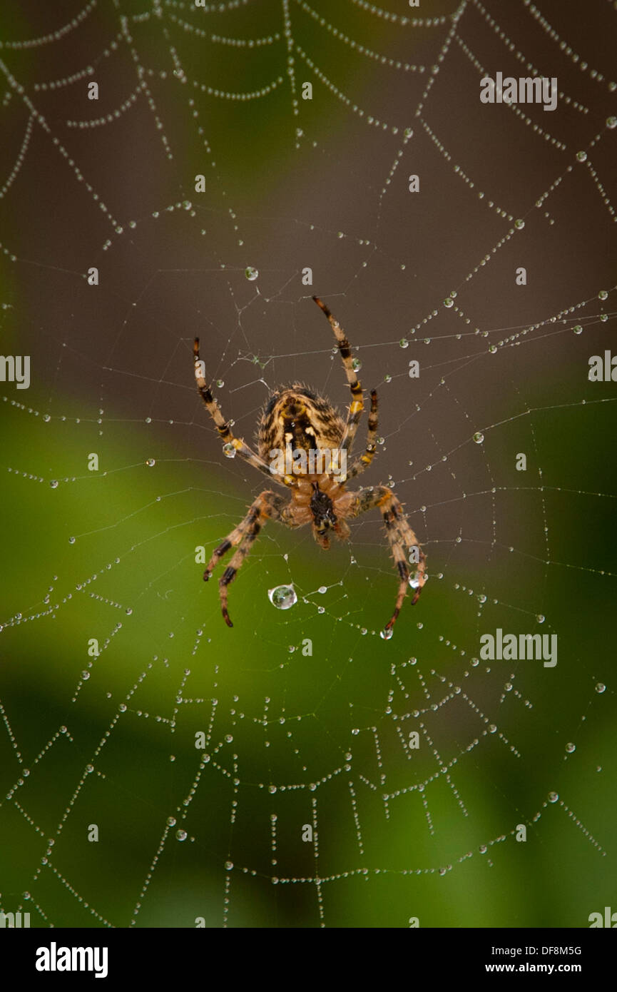 North London suburb European Garden Spider Cross Orb Araneus Diadematus spiders web webs dew rain water drop drops leaf leaves - Stock Image