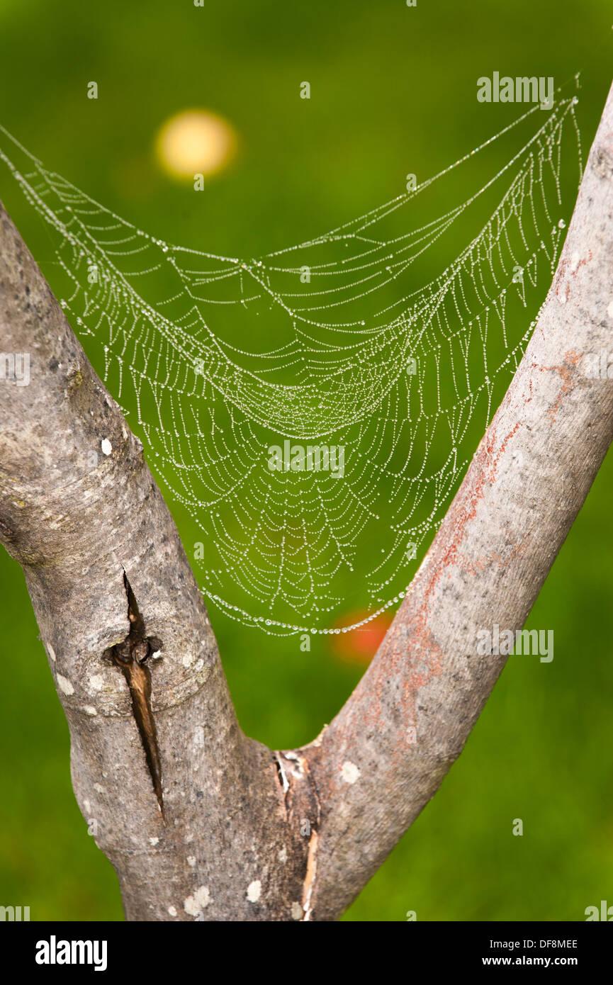 North London suburb European Garden Spider Cross Orb Araneus Diadematus spiders web webs dew rain water drop drops leaf leaves leafs - Stock Image