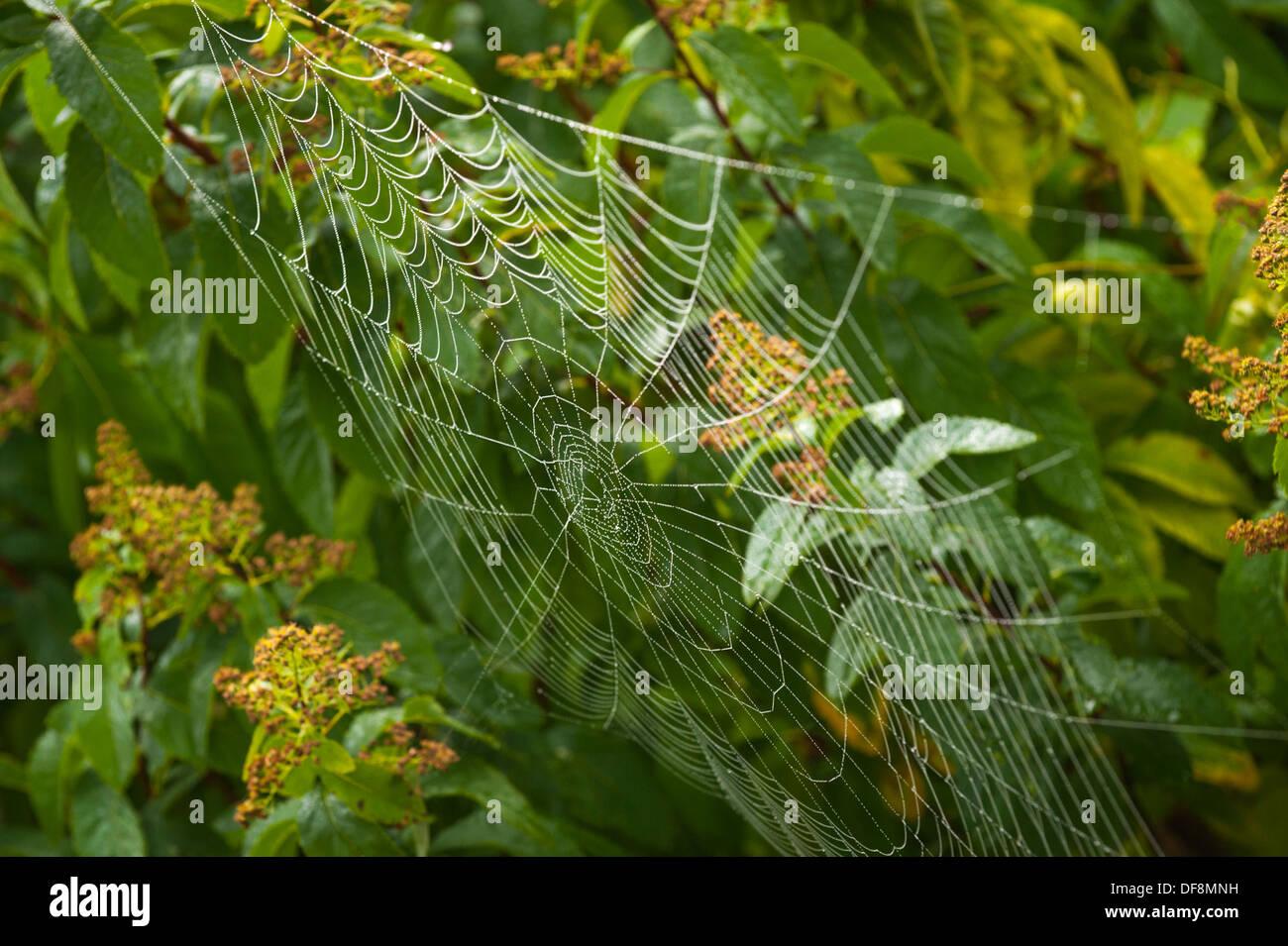 North London suburb European Garden Spider Cross Orb Araneus Diadematus spiders web webs dew rain water drop drops leaf leaves - Stock Image