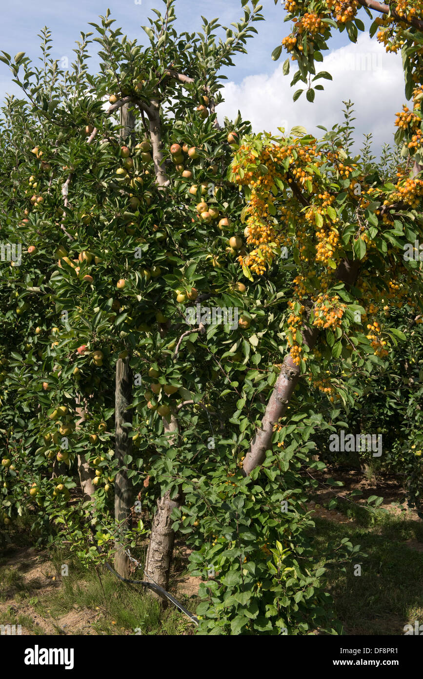 Crab apple pollinator tree in full fruit at the end of a row of cordon apples in Gironde, France - Stock Image