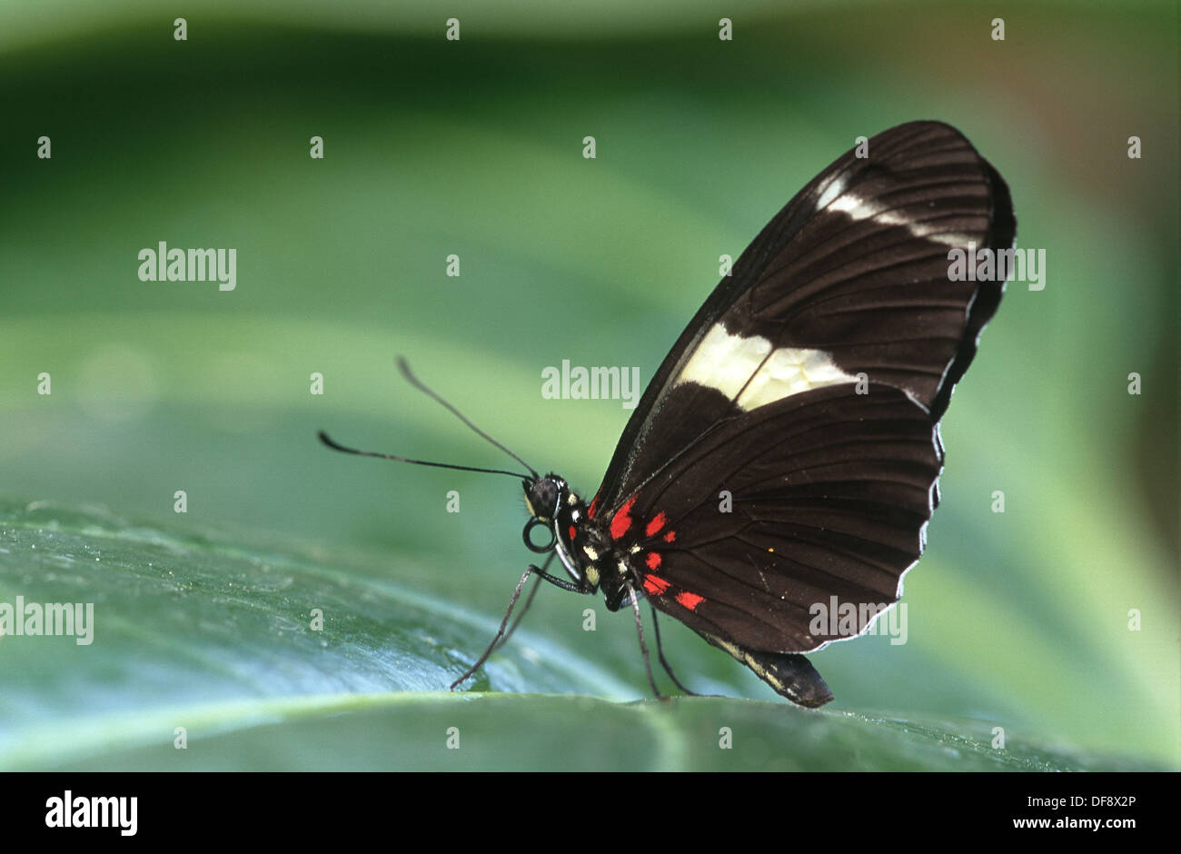 Sapho longwing Butterfly (Heliconius sapho) Stock Photo