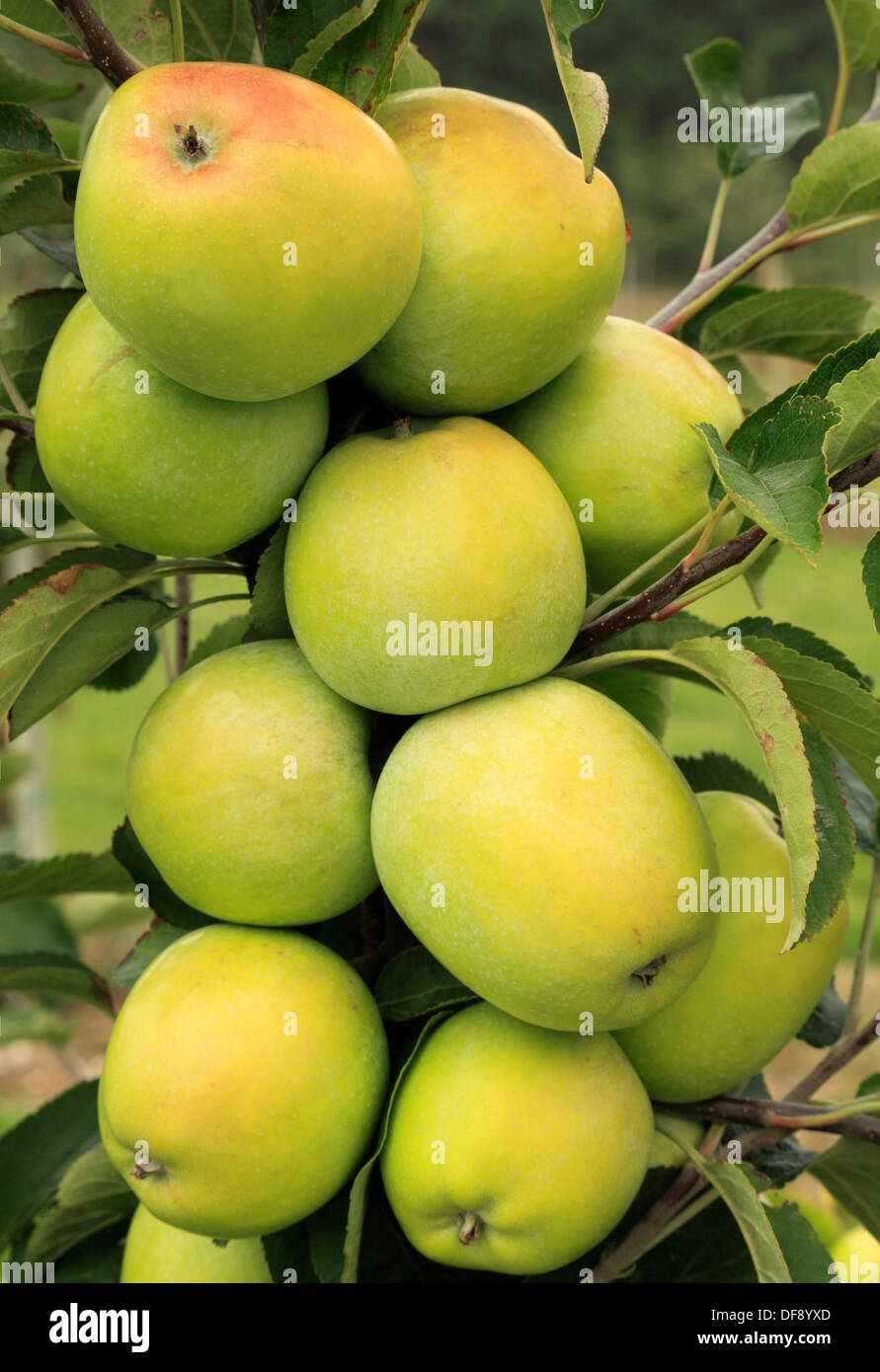 Apple 'Sturmer Pippin',  variety growing on tree, fruit apples England UK - Stock Image