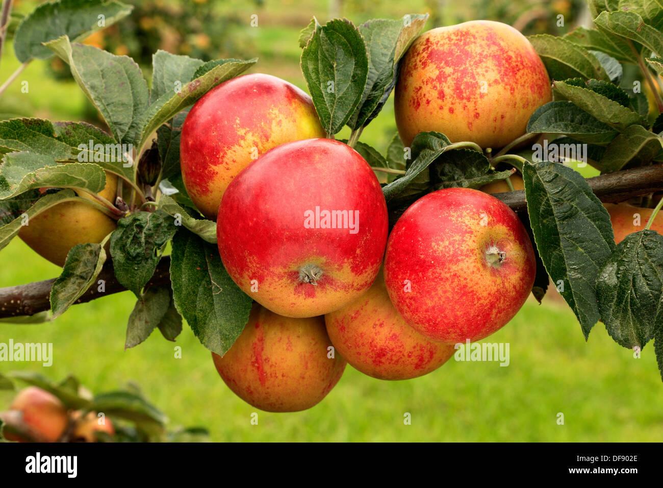 Apple, 'Norfolk Royal Russet', variety growing on tree, fruit red apples England UK - Stock Image