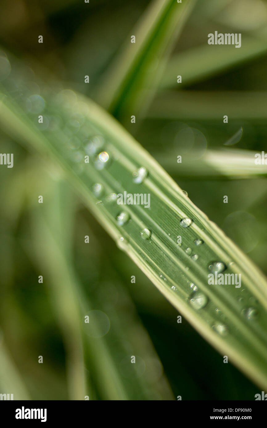 Blade of grass after the rain - Stock Image