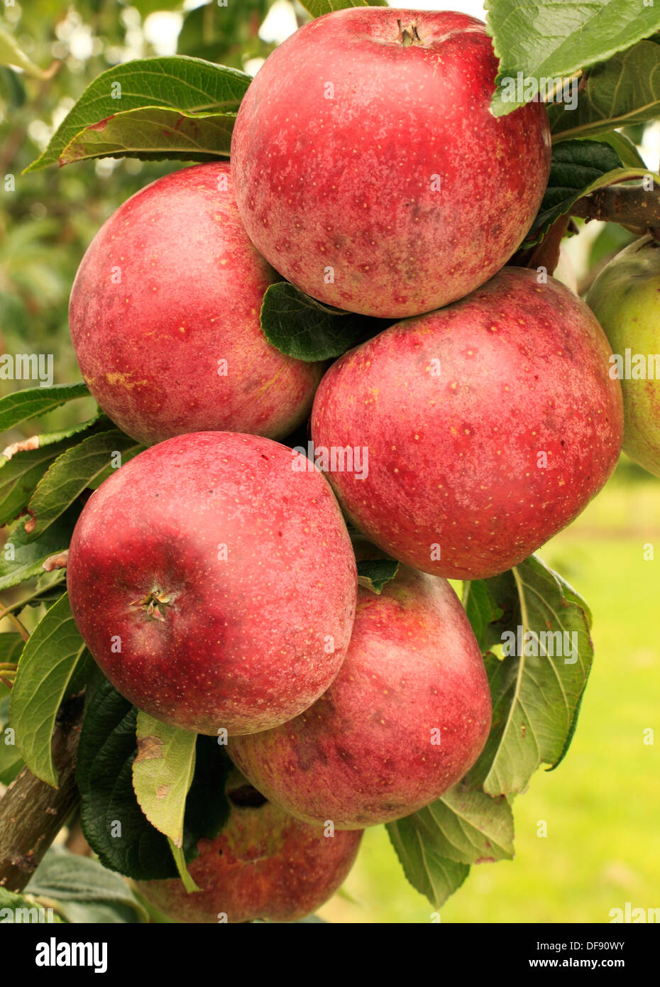 Apple, Rivers St. Martins, variety growing on tree, fruit red apples England UK - Stock Image
