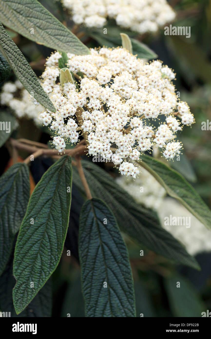 viorme with wrinkled leaves, large flowers in umbrella bot: Viburnum rhytidophyllum fam: Caprifoliaceae - Stock Image