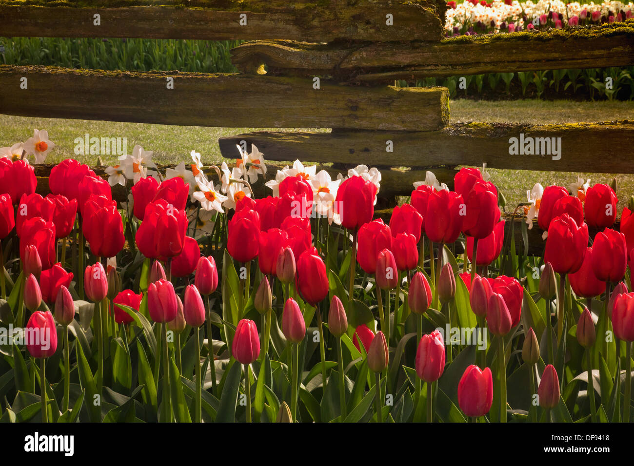 Mixed bed of tulips and daffodils blooming by an old cedar fence in ...