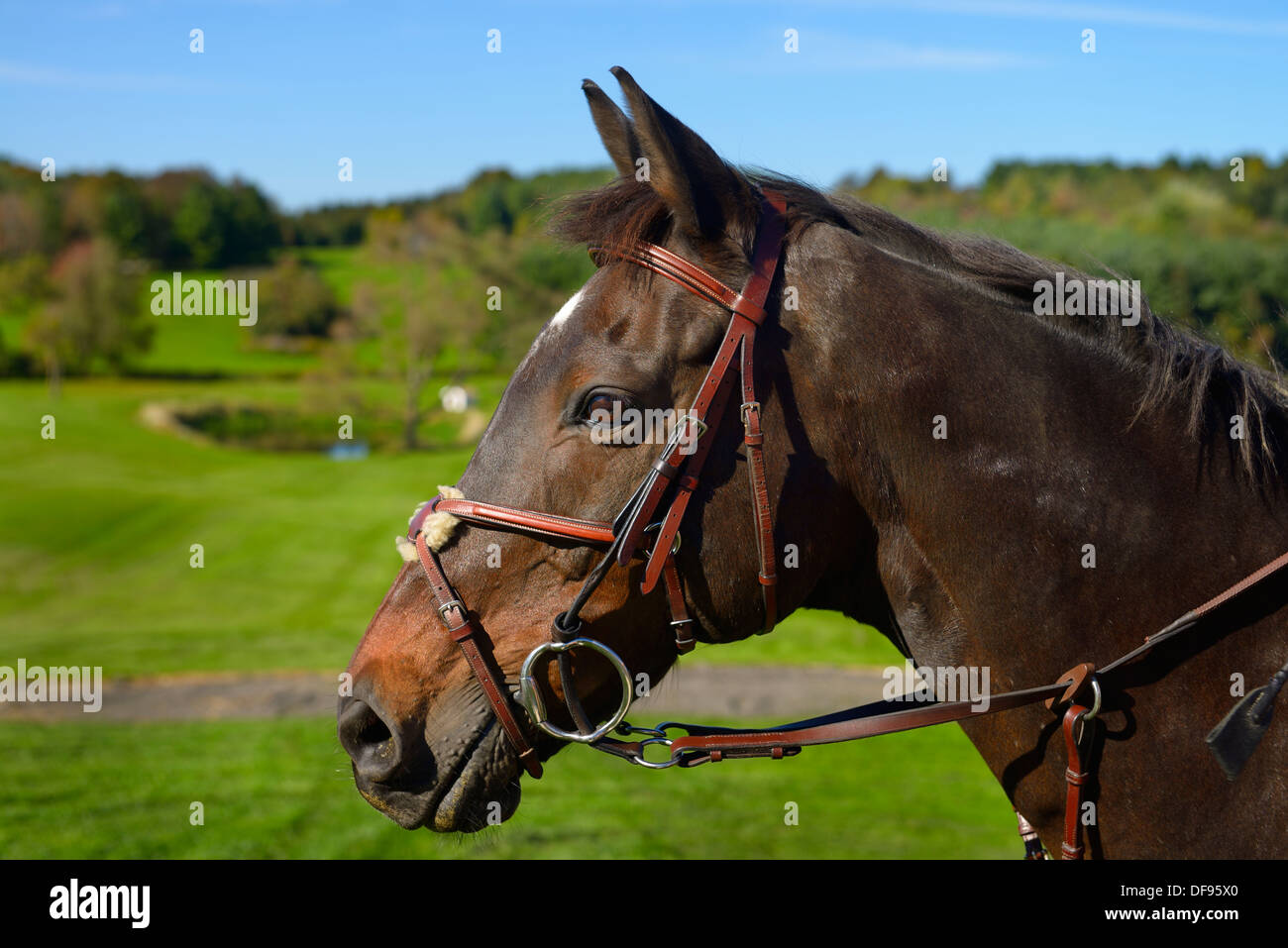 Face of a bay thoroughbred gelding horse outdoors with green fields at horse farm Stock Photo