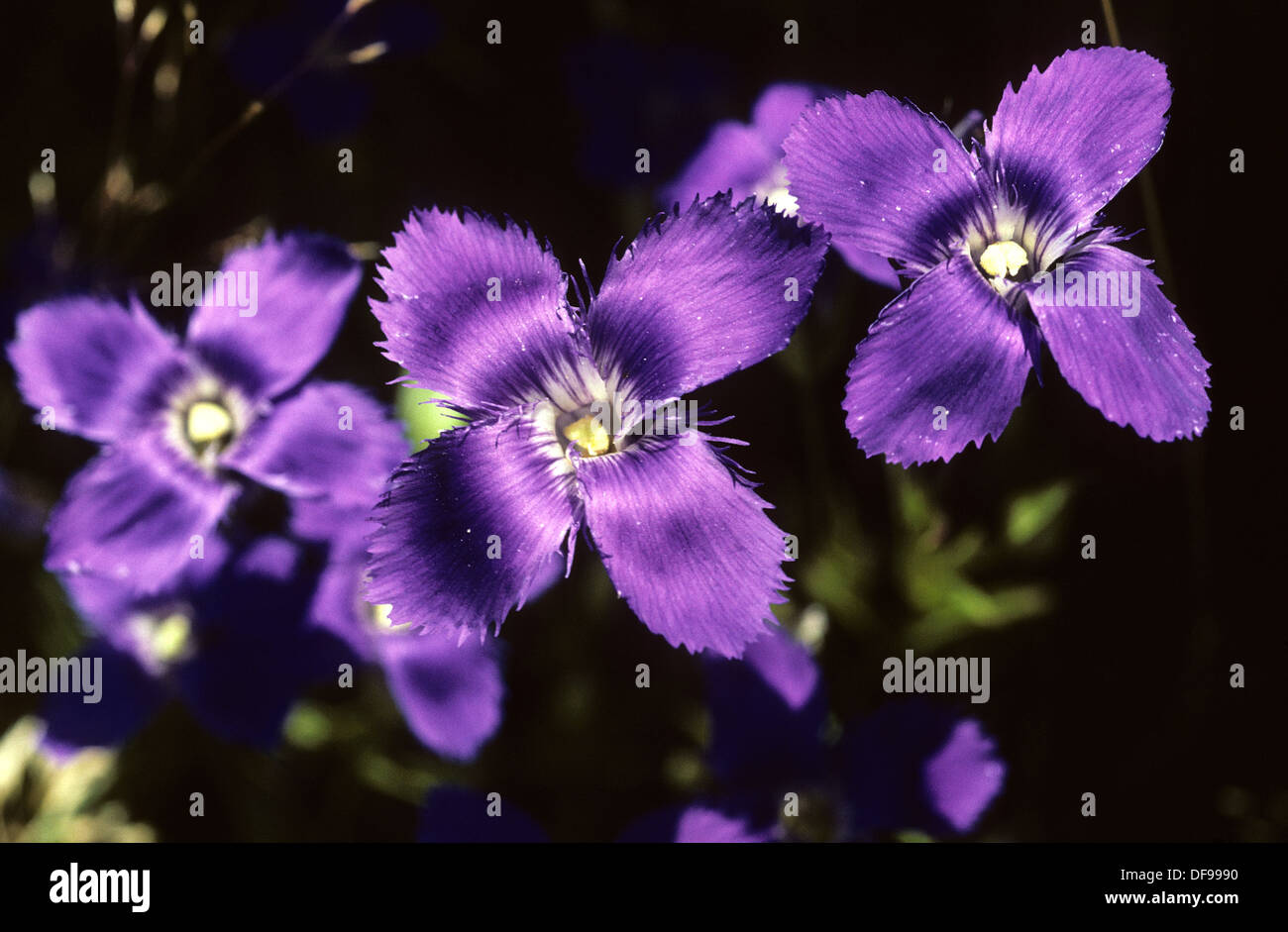 Elk265-1980 Wyoming, Yellowstone National Park, wildflowers, Fringed Gentian - Stock Image