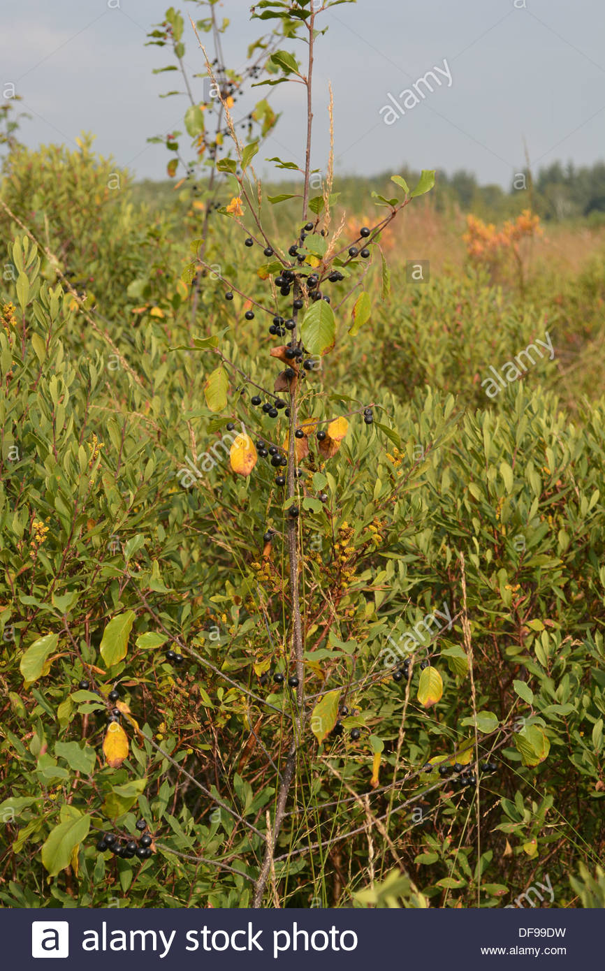Alder Buckthorn growing on the Wem moss national nature reserve. - Stock Image