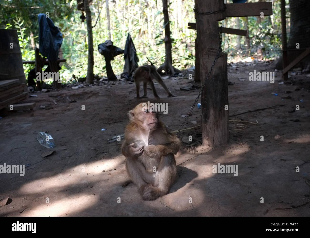 Captive pet monkey in rural Laos - Stock Image