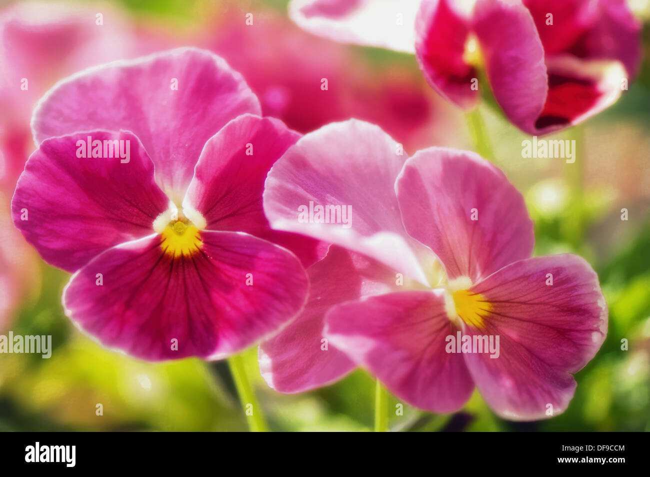 Pink Pansy Flower Viola Wittrockiana Stock Photos Pink Pansy