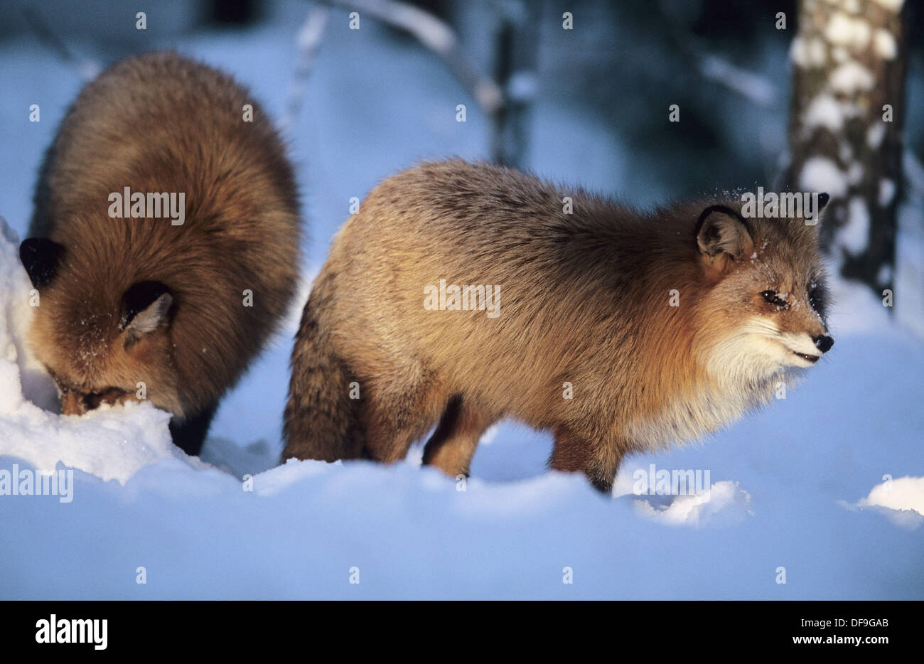 red foxes vulpes vulpes looking for food in the wintry taiga near