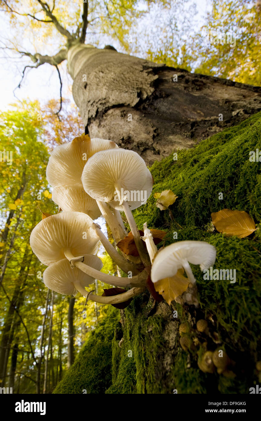 Primeval beech forest, trunk of beech with mushrooms (Oudemansiella mucida), colours of autumn, Steigerwald, Bavaria, Germany - Stock Image