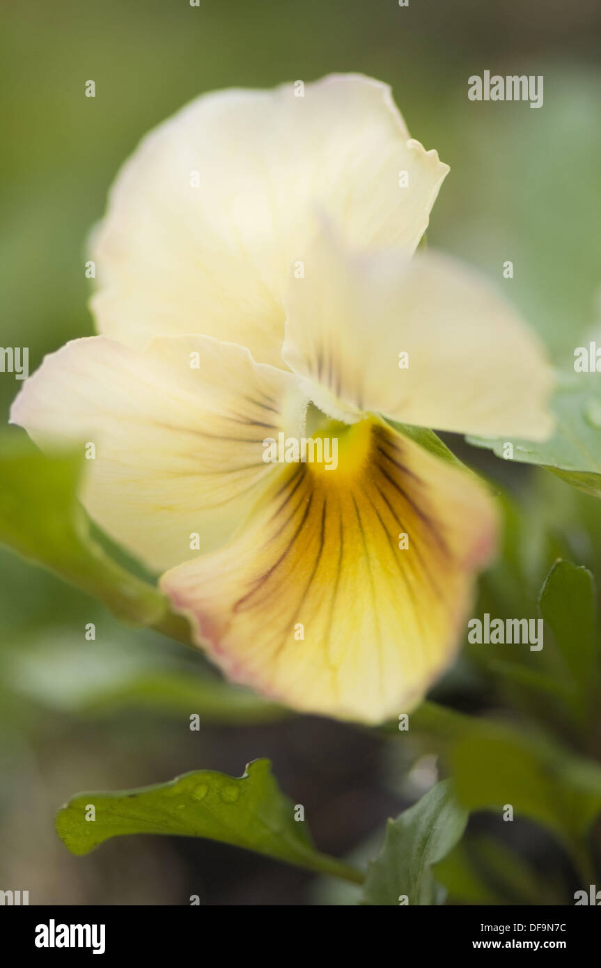 Yellow Brown Pansy Flower Viola Stock Photos Yellow Brown Pansy