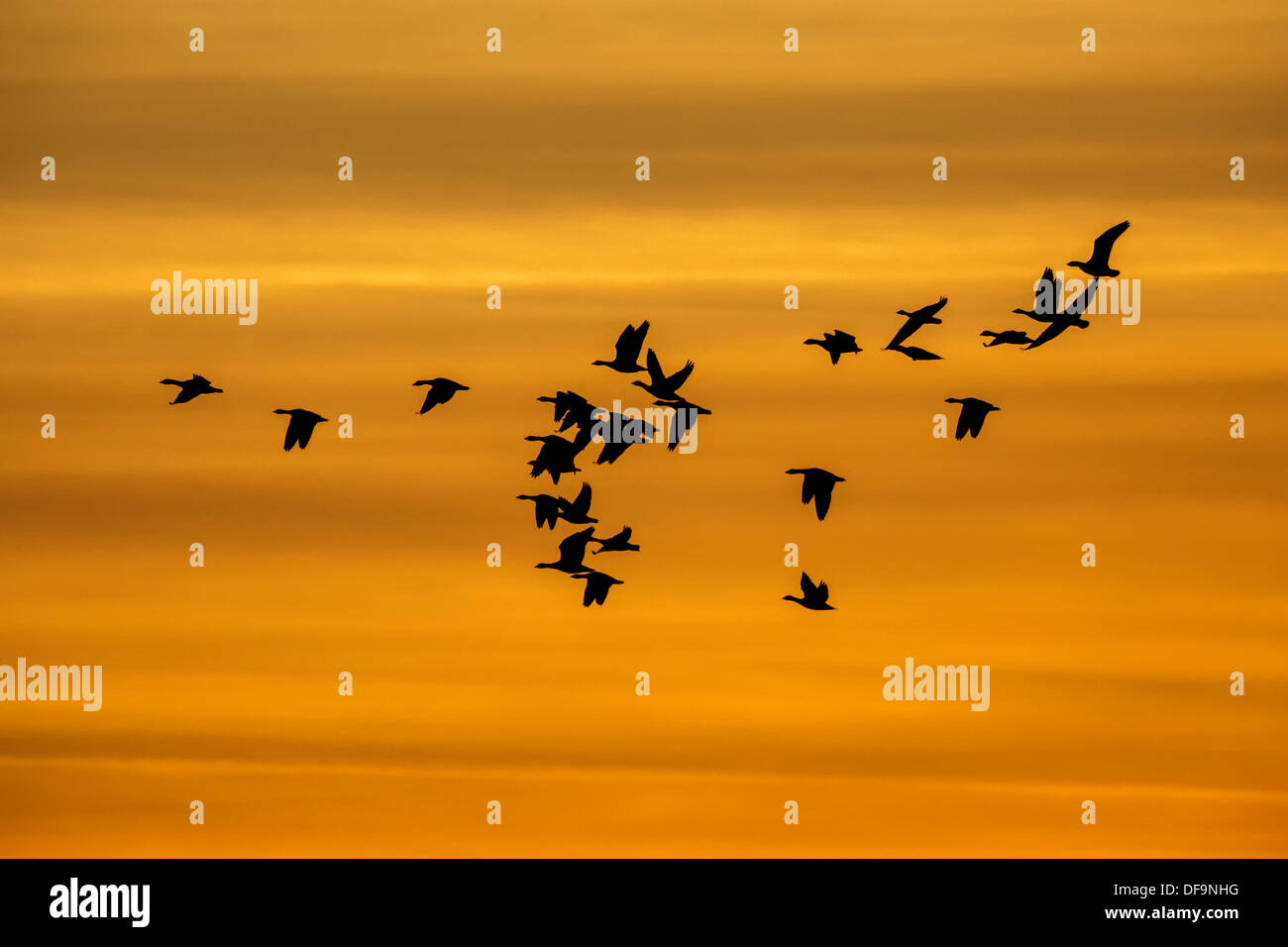 Sunset Skein - A flock of wintering Pink footed Geese at sunset - Stock Image