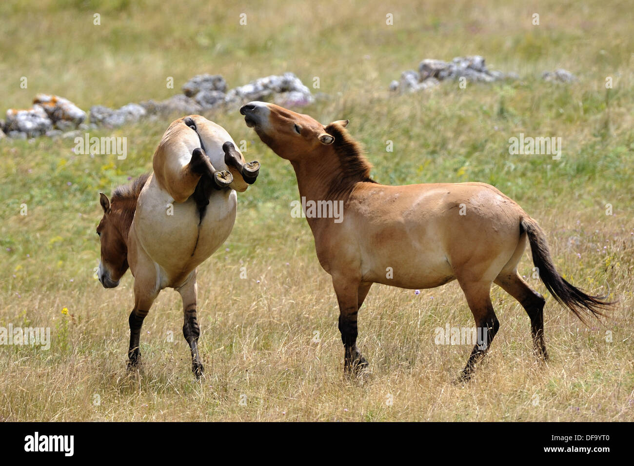Semi wild Przewalski horses (Equus ferus przewalskii), two stallions fighting, Parc du Villaret, Causse Mejean, Stock Photo