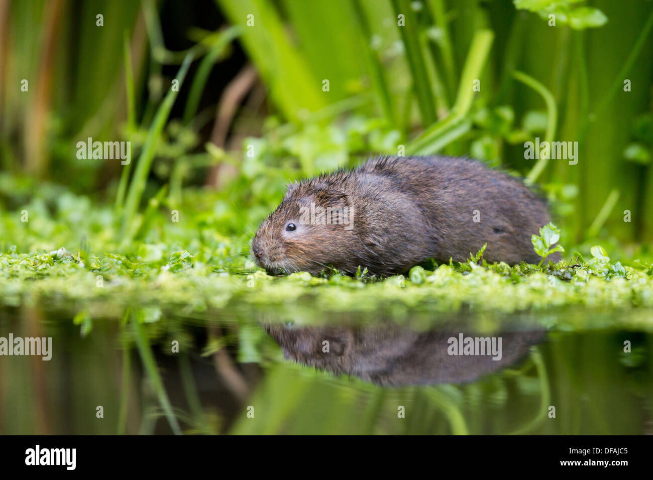 British Water Vole (Arvicola amphibius) among foliage in a river in Kent, England, UK - Stock Image