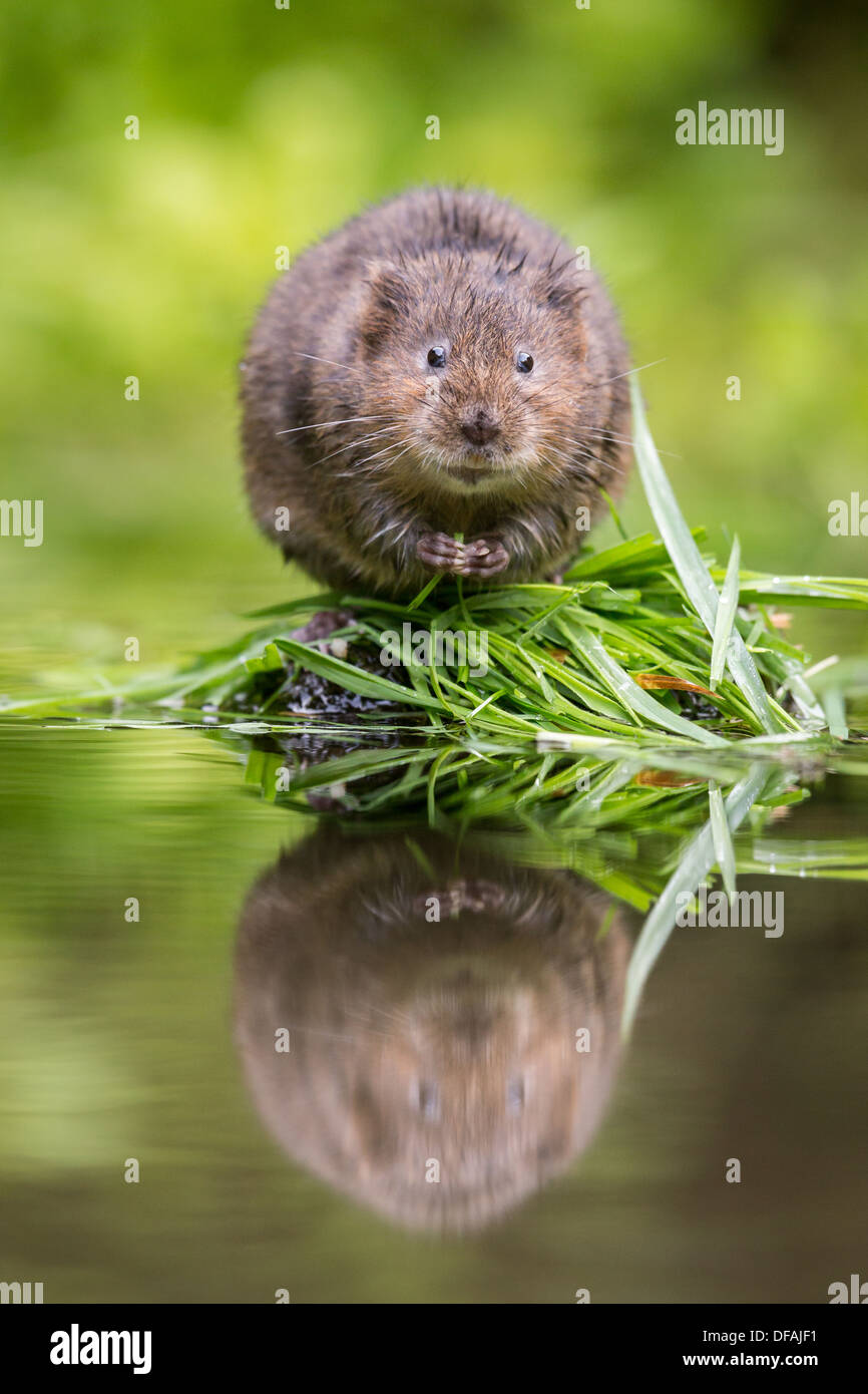 British Water Vole (Arvicola amphibius) sitting looking cute on a rock in a river in Kent, England, UK - Stock Image