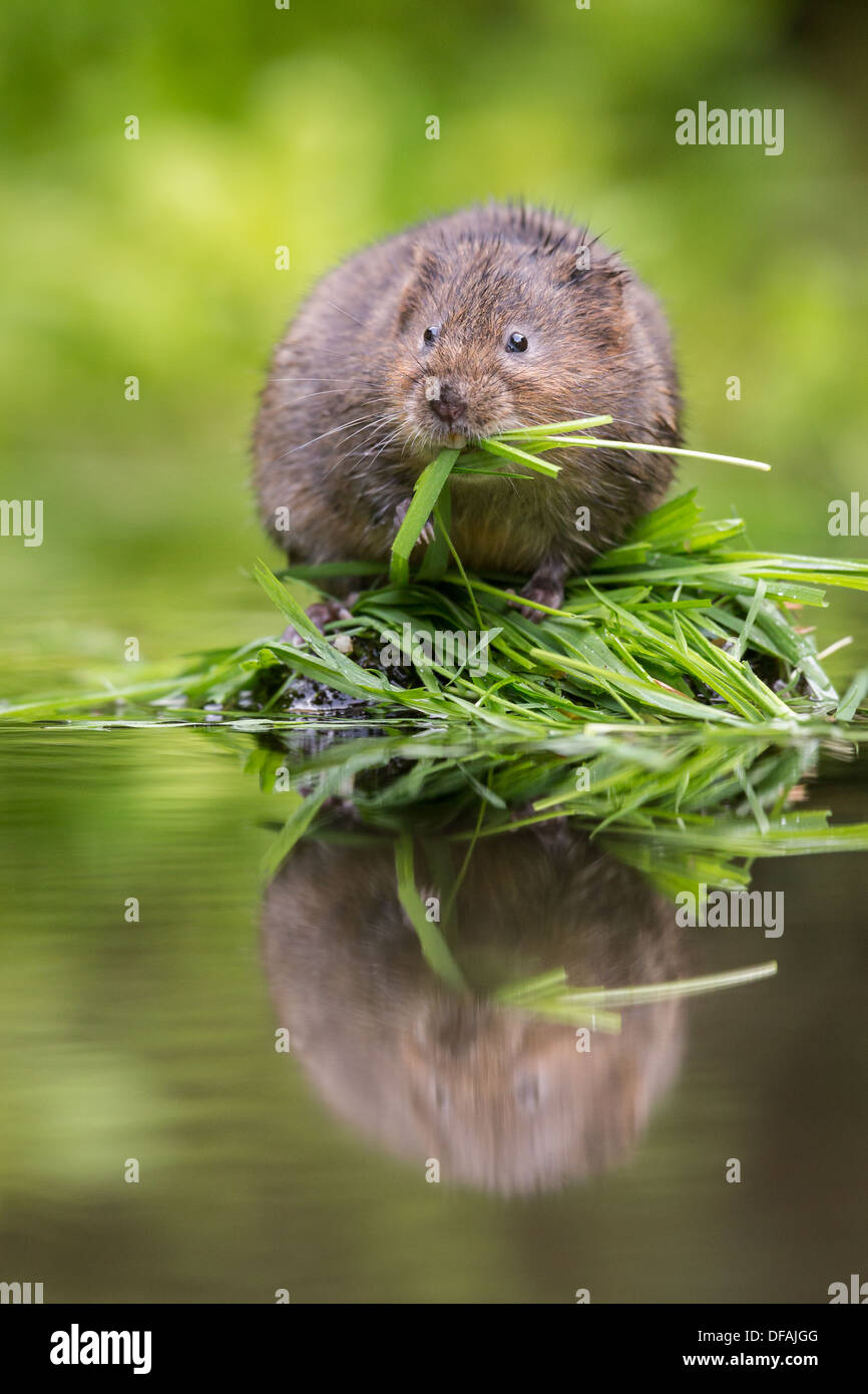 British Water Vole (Arvicola amphibius) feeding on grass on a rock in a river in Kent, England, UK - Stock Image